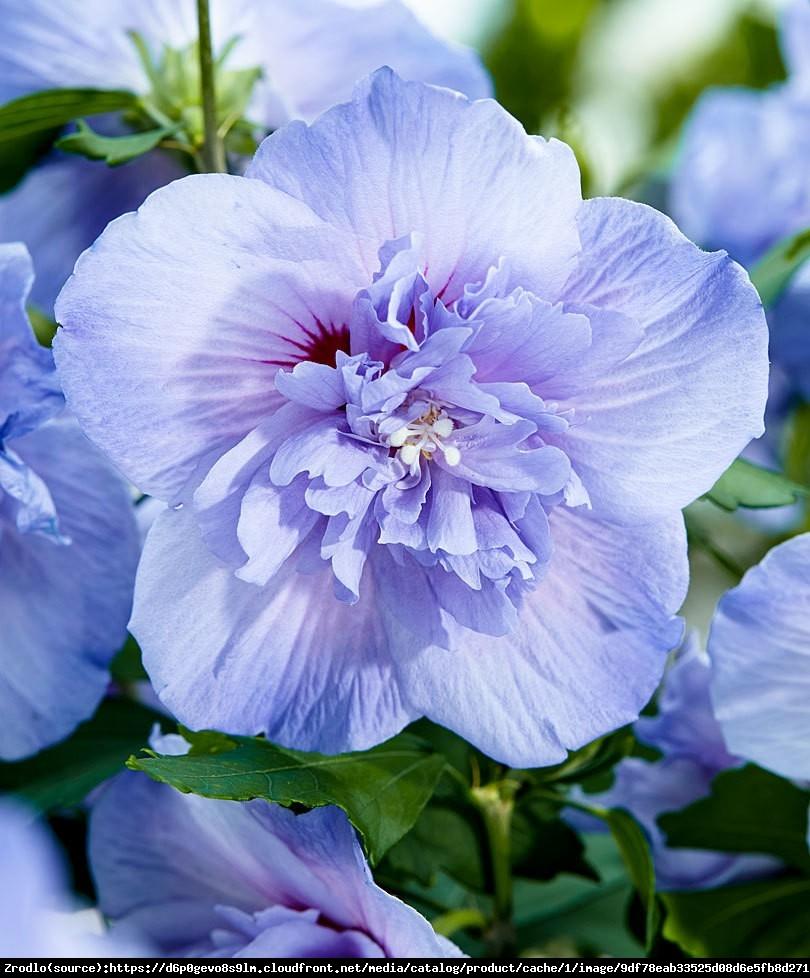 Hibiskus, Ketmia syryjska Blue Chiffon - PEŁNE, NIEBIESKIE KWIATY!!! - Hibiscus syriacus Blue Chiffon