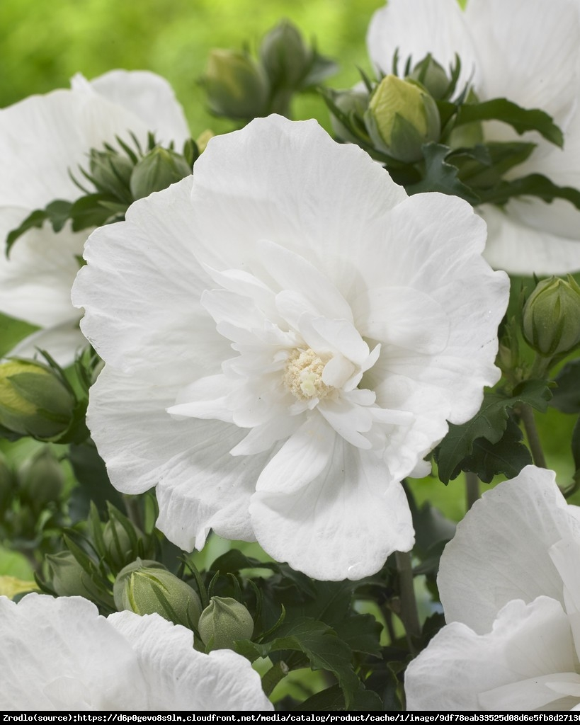 Hibiskus, Ketmia syryjska White Chiffon - PEŁNE, BIAŁE KWIATY - Hibiscus syriacus White Chiffon