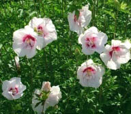 Hibiskus, Ketmia syryjska China Chiffon - PEŁNE, RÓŻOWE KWIATY!!! - Hibiscus syriacus China Chiffon