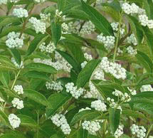 Pięknotka japońska 'Leucocarpa' - Callicarpa japonica 'Leucocarpa'