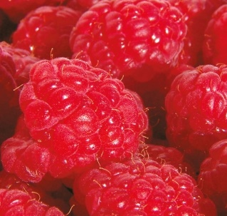 Malina właściwa 'Fallred' - Rubus idaeus 'Fallred'