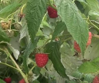 Malina właściwa Erika - Rubus idaeus Erika