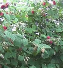 Malina właściwa Radziejowa - Rubus idaeus Radziejowa