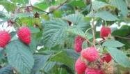 Malina właściwa 'Tadmor' - Rubus idaeus 'Tadmor'