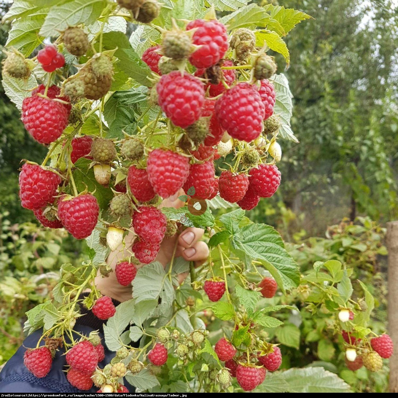 Malina właściwa Tadmor - Rubus idaeus Tadmor