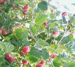 Malina właściwa 'Nova Red' - Rubus idaeus 'Nova Red'