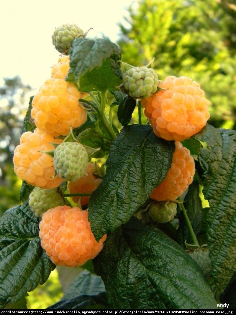 Malina właściwa Poranna Rosa (żółta) - Rubus idaeus Poranna Rosa