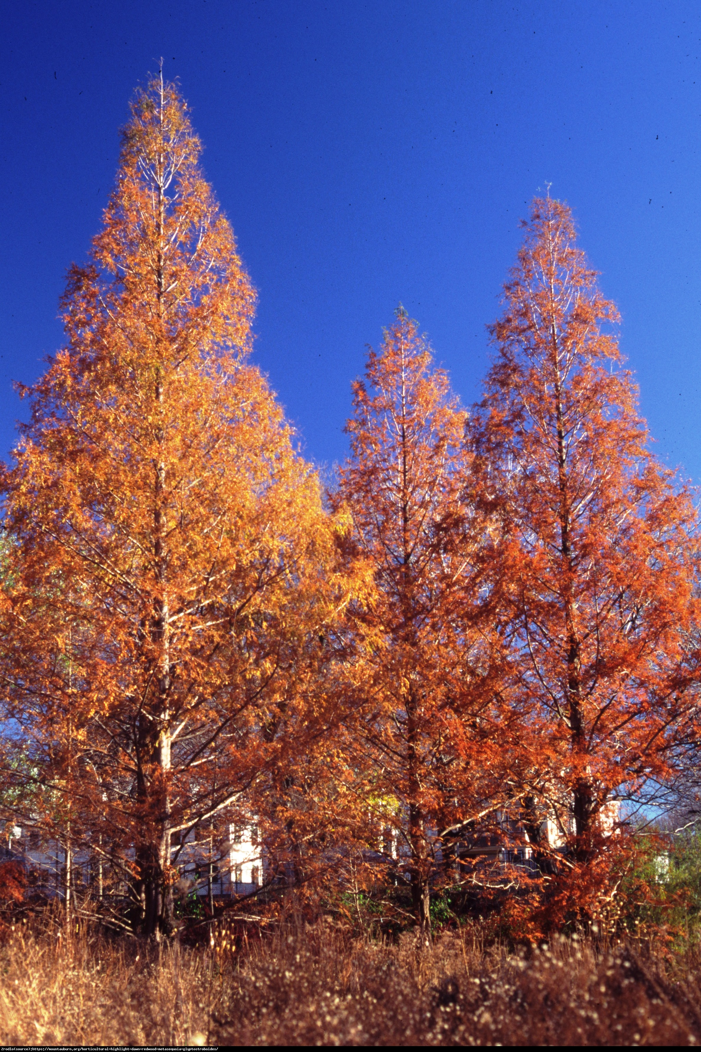 Metasekwoja chińska - Metasequoia glyptostroboides
