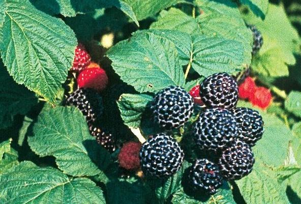 Malina czarna 'Bristol' - Rubus occidentalis 'Bristol'