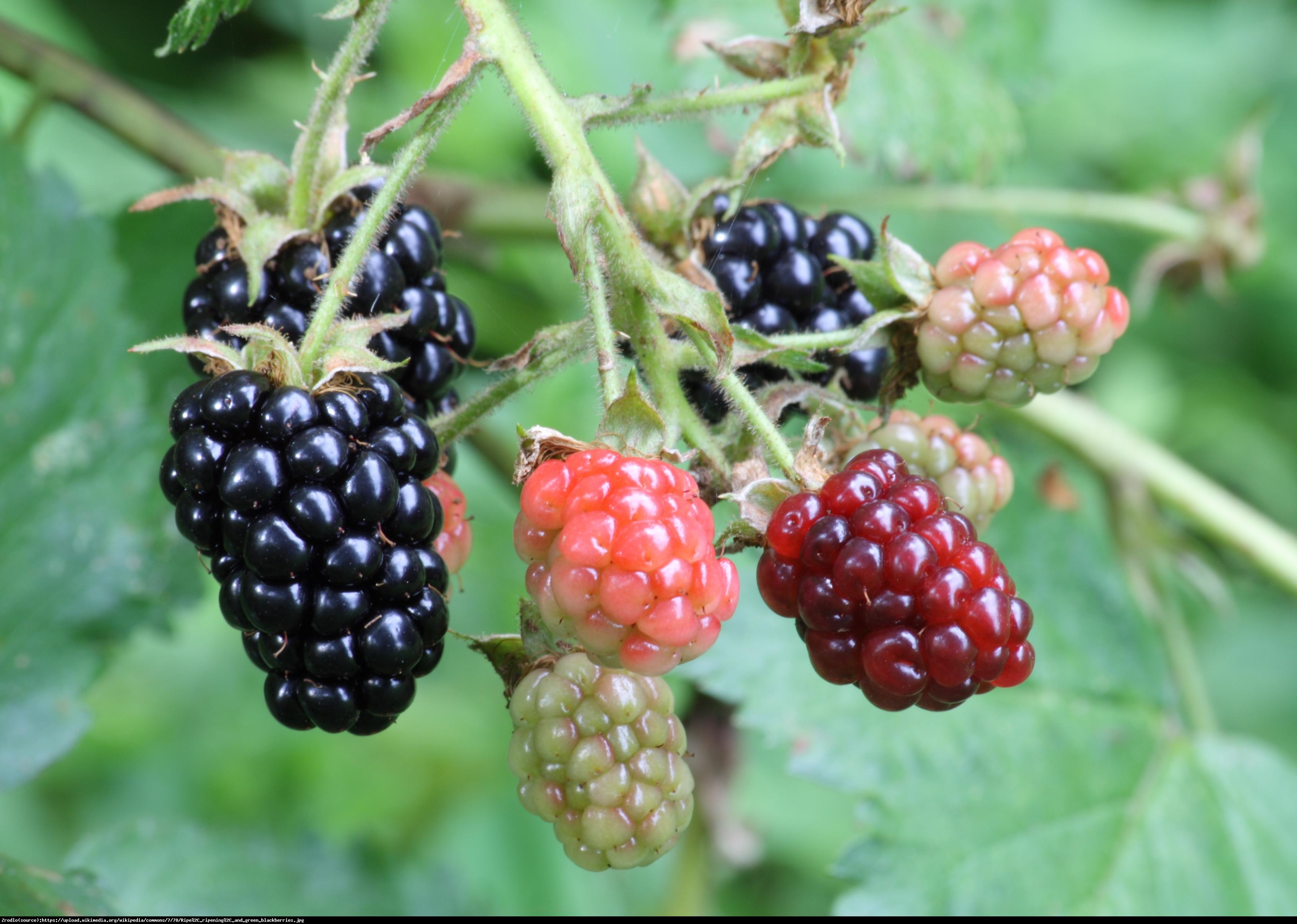 Jeżyna Arapaho - Rubus Arapaho
