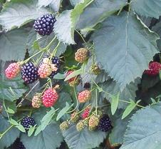 Jeżyna 'Polar' - Bezkolcowa - Rubus