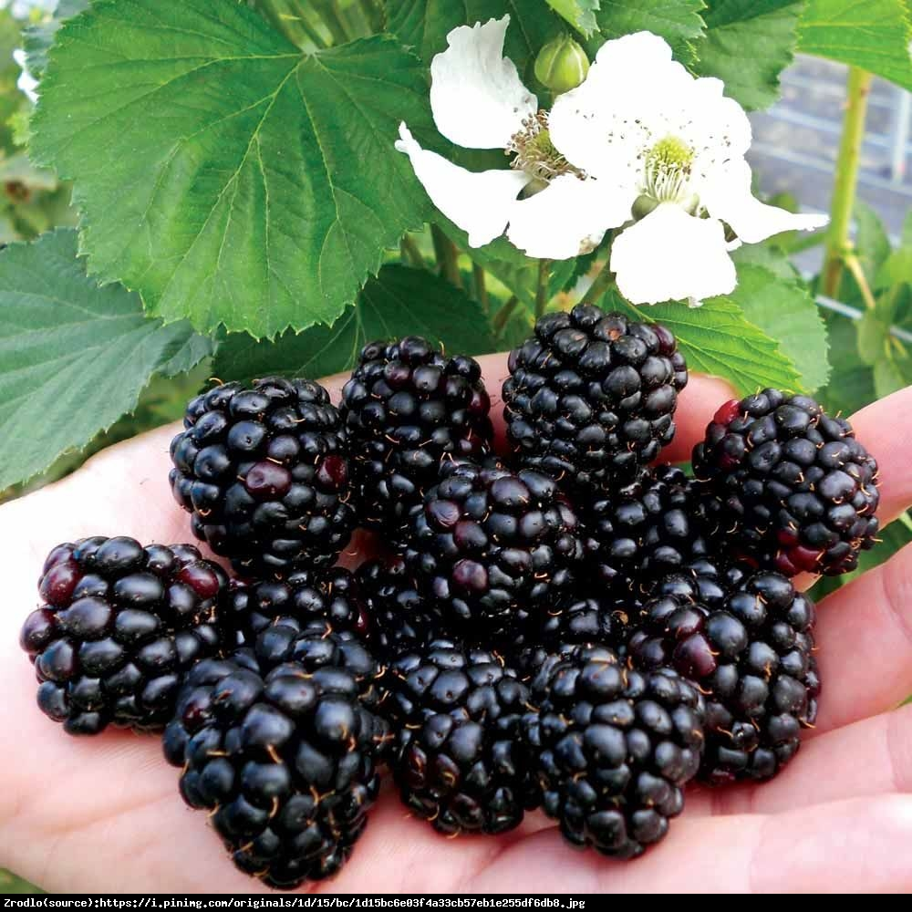 Jeżyna Reuben - GIGANTYCZNE OWOCE - Rubus Reuben
