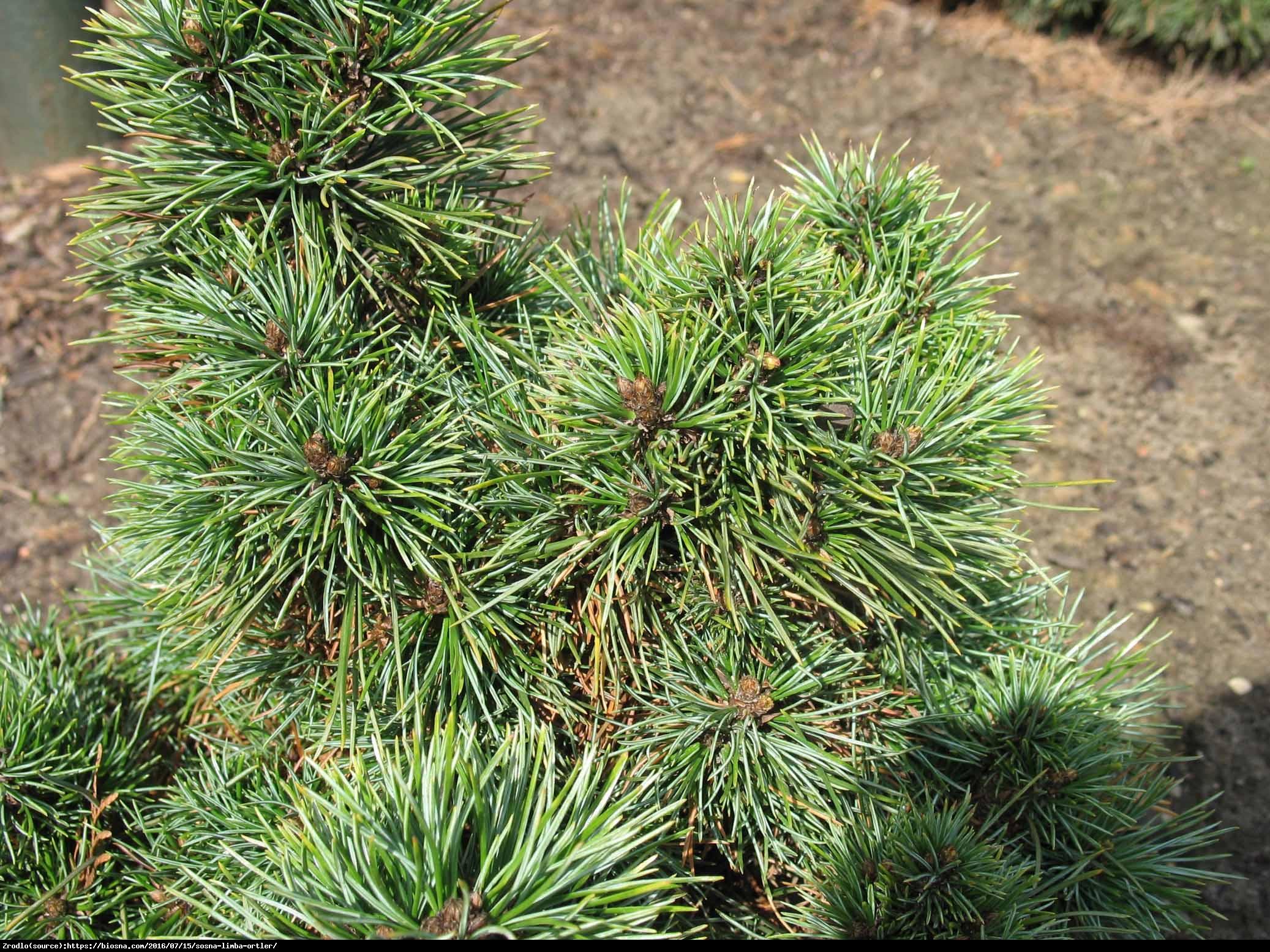 Sosna limba - Pinus cambra