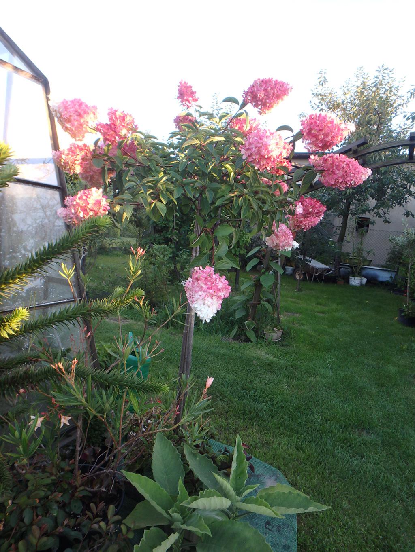 Hortensja bukietowa Vanille Fraise na pniu - Hydrangea paniculata Vanille Fraise na pniu