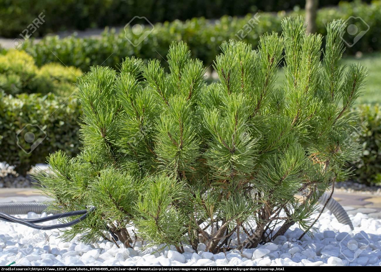 Kosodrzewina - Sosna górska - Pinus mugo var pumilio