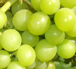 Winorośl Królowa winnic - Vitis Królowa winnic