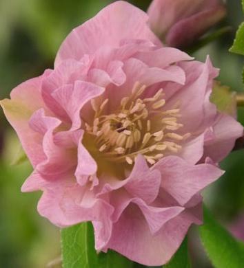 Ciemiernik wschodni Double Ellen Pink - Helleborus orientalis Double Ellen Pink