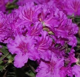 azalia japońska 'Enzett-Lilienstein' - Rhododendron 'Enzett-Lilienstein'