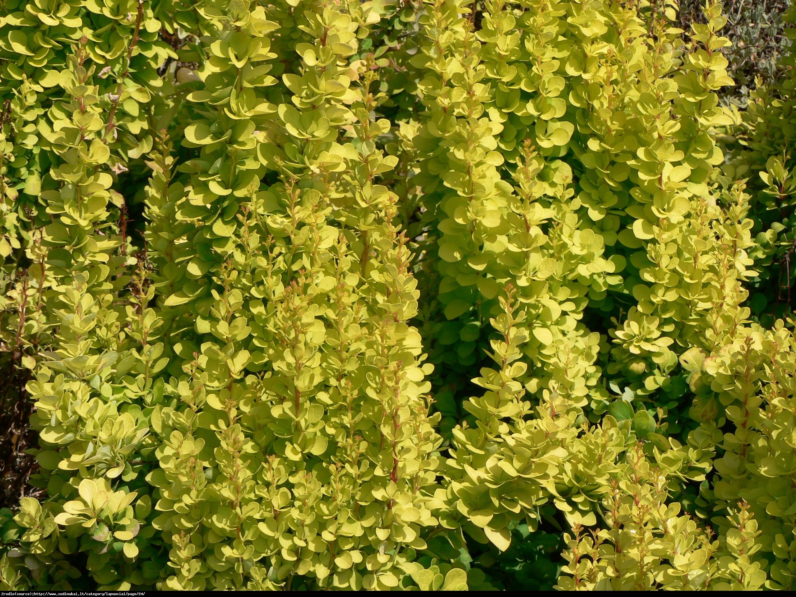 Berberys Goldalita - Berberis thunbergii  Goldalita