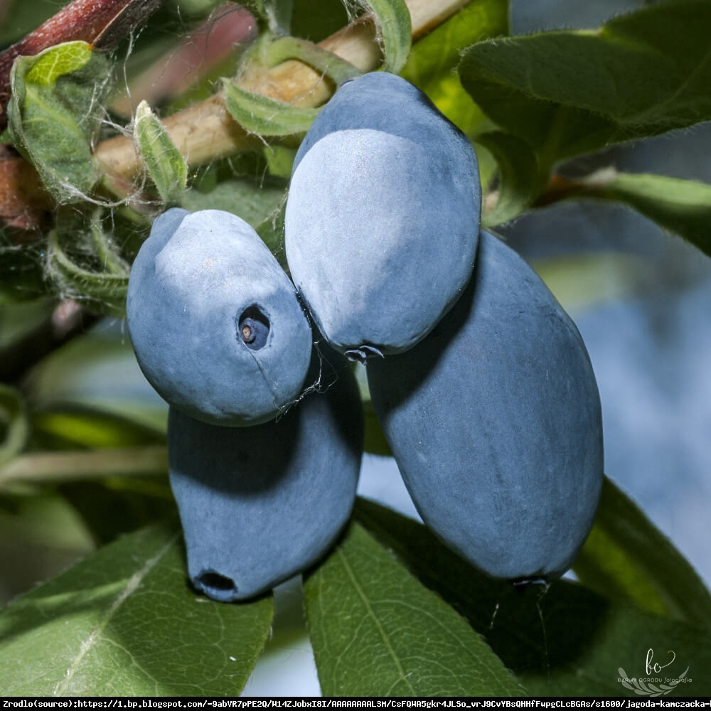 jagoda kamczacka Boreal Beauty - Lonicera caerulea var. kamtschatica Boreal Beauty
