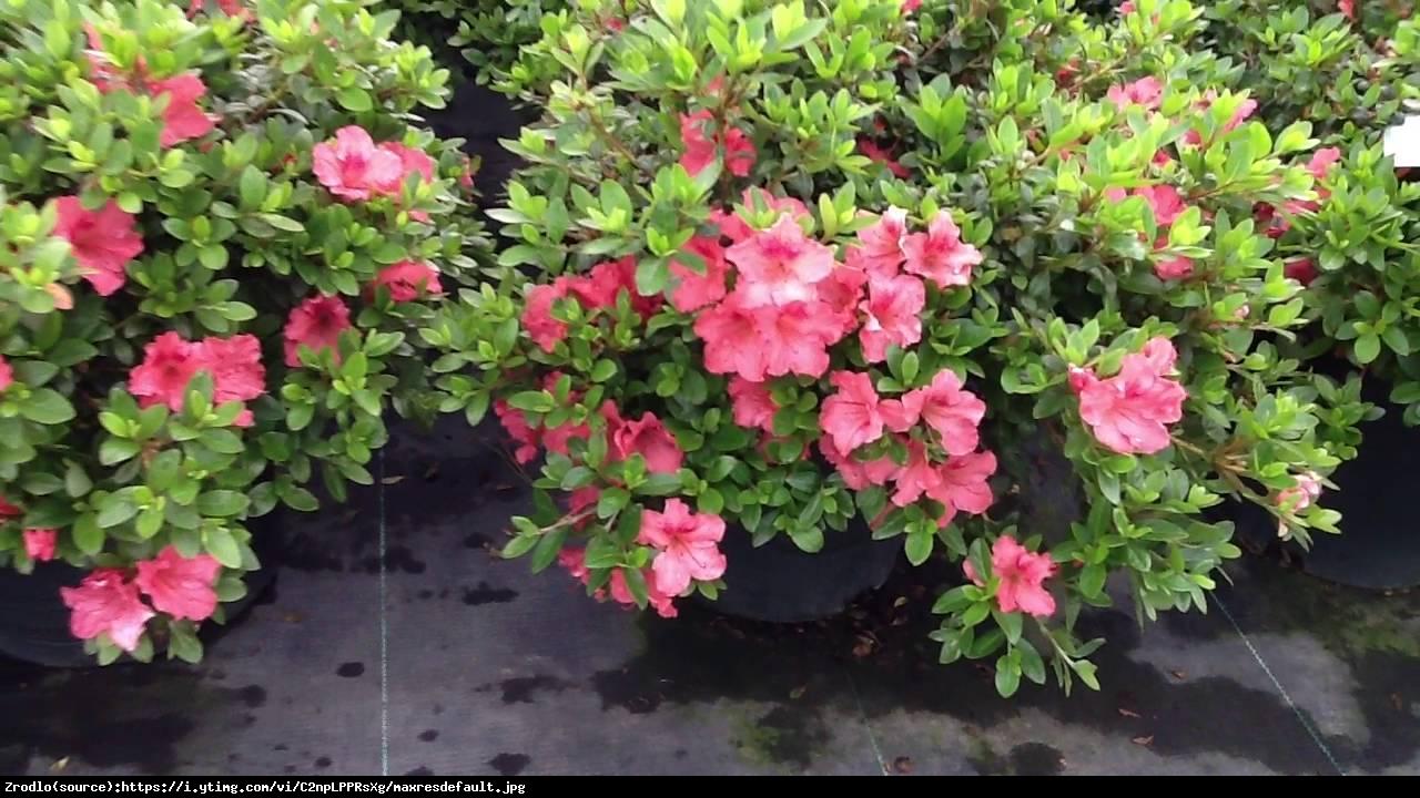 azalia Gabrielle Hill - Rhododendron Gabrielle Hill