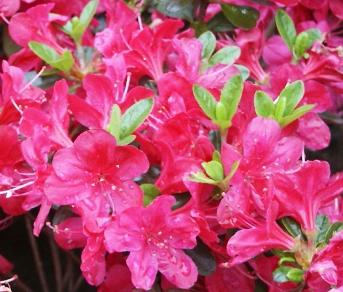 azalia Rubinetta - Rhododendron Rubinetta