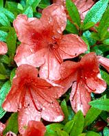 azalia Alexander - Rhododendron Alexander