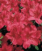 azalia Georg Arends - Rhododendron Georg Arends