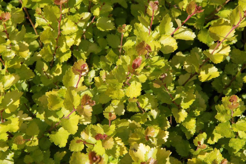 Brzoza karłowata GOLDEN TREASURE - Betula nana GOLDEN TREASURE