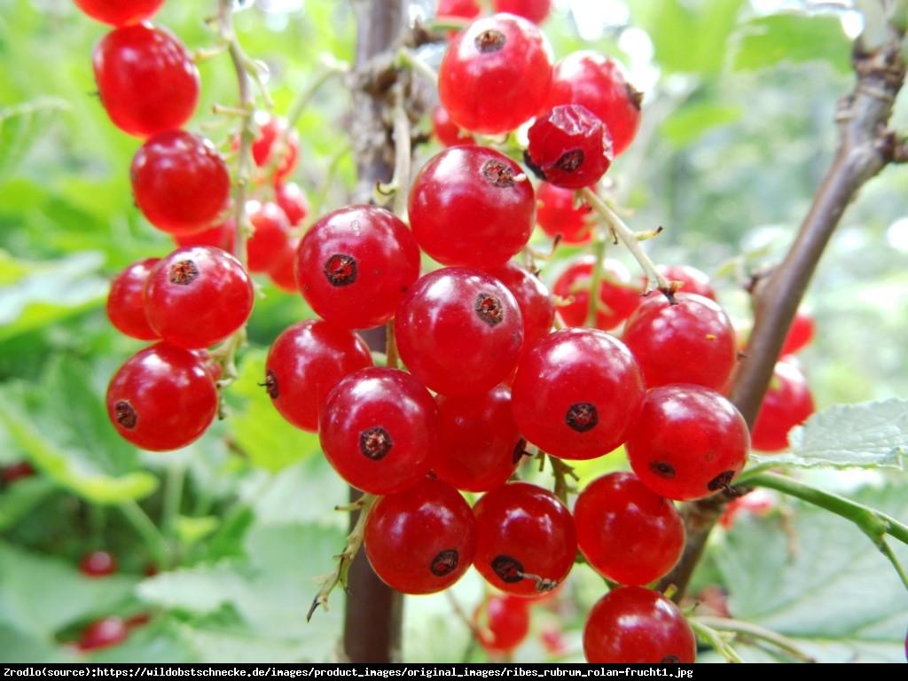 Porzeczka czerwona krzew Rolan - Ribes rubrum Rolan