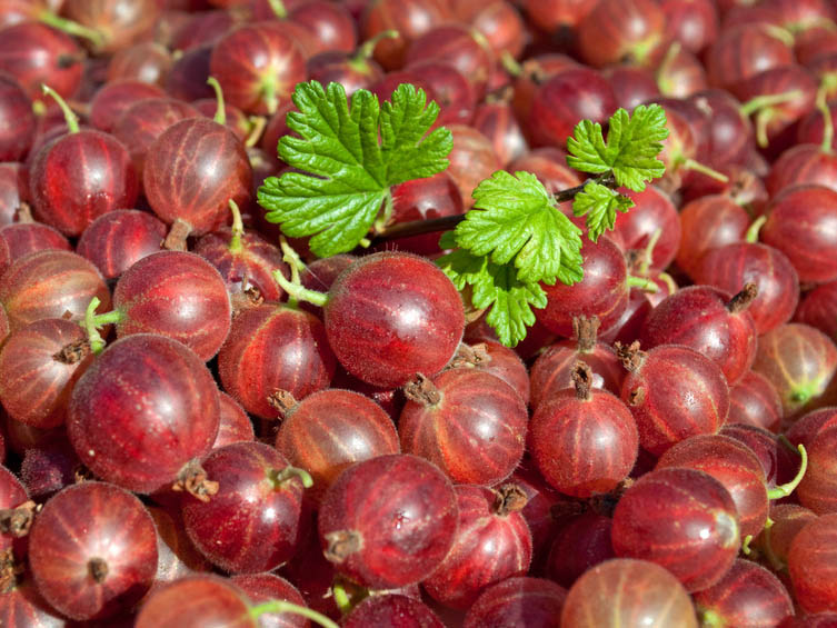 Agrest czerwony Hinnomaki Rot - KRZEW - Ribes uva-crispa Hinnomaki Rot