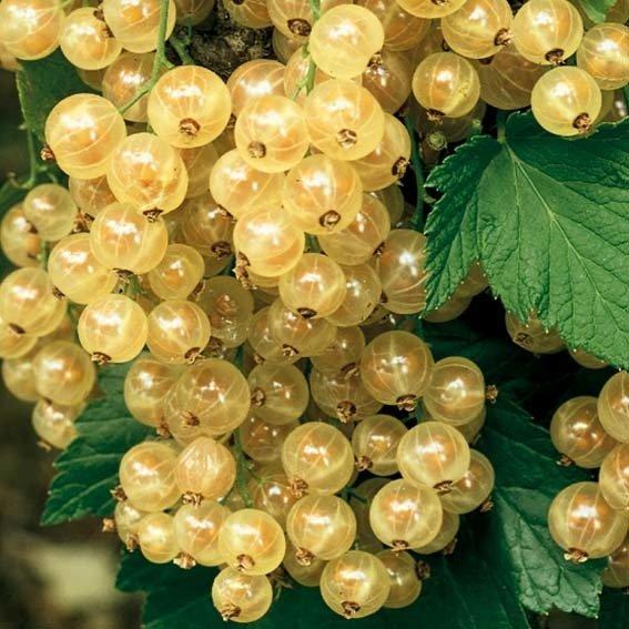 Porzeczka biała Weise Versailes krzew - Ribes niveum Weise Versailes