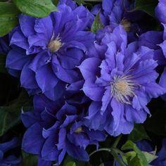 Powojnik wielkokwiatowy Kiri Te Kanawa - pełne kwiaty - Clematis Kiri Te Kanawa