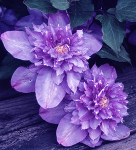Powojnik wielkokwiatowy Vyvyan Pennell - pełne kwiaty - Clematis Vyvyan Pennell