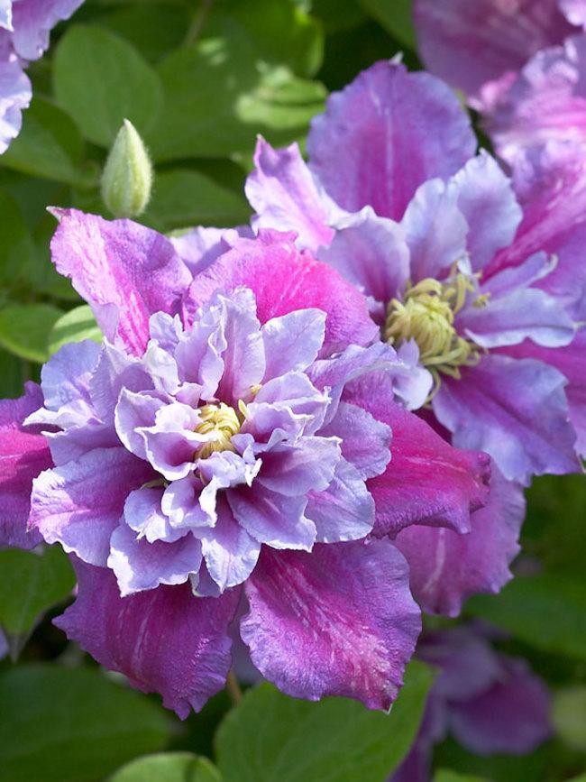 Powojnik wielkokwiatowy Piilu - półpełne kwiaty - Clematis Piilu