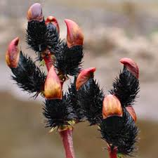 Wierzba smukłoszyjkowa Melanostachys - HIT czarne bazie !!! - Salix gracilistyla Melanostachys