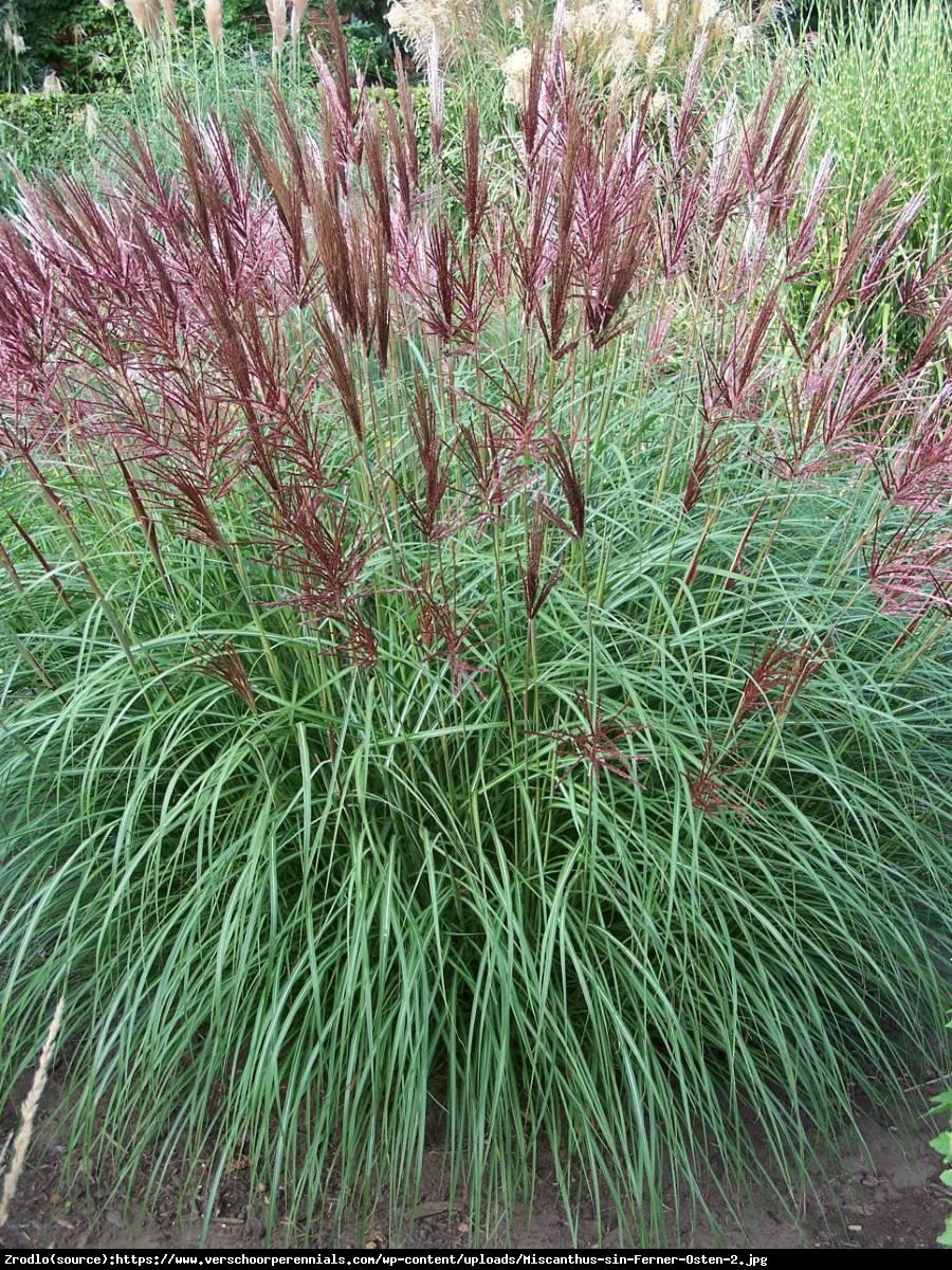 Miskant Ferner Osten - intensywne czerwone kwiatostany !!! - Miscanthus Ferner Osten