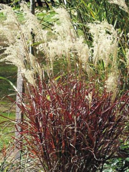 Miskant chiński Dronning Ingrid - czerwone liście - Miscanthus sinensis Dronning Ingrid