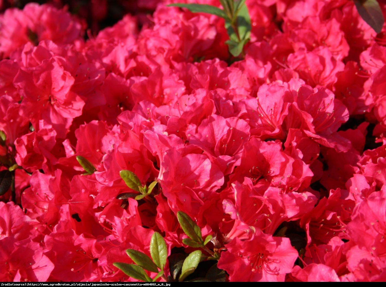 azalia Canzonetta - Rhododendron Canzonetta
