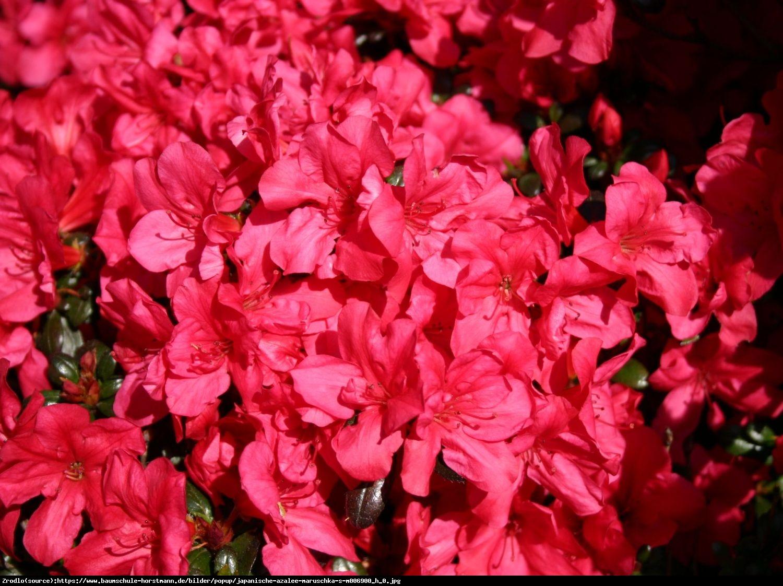 Azalia Noriko (Geisha Karmin) - Rhododendron Noriko (Geisha Karmin)