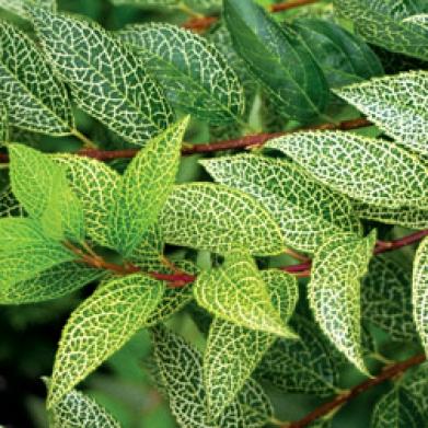 Forsycja zielona Kumson na pniu !!! - Forsythia viridissima Kumson