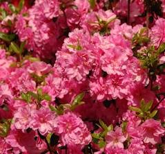 Azalia Marinja - Rhododendron Marinja