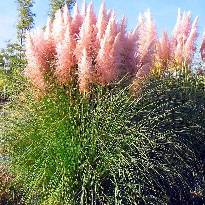 Trawa pampasowa RÓŻOWA - ogromne kwiatostany - Cortaderia selloana Rosea