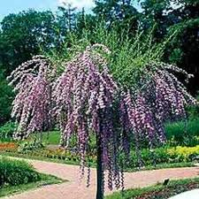 Budleja skrętolistna  NA PNIU !!! - szafirowe kwiaty - Budleja alternifolia