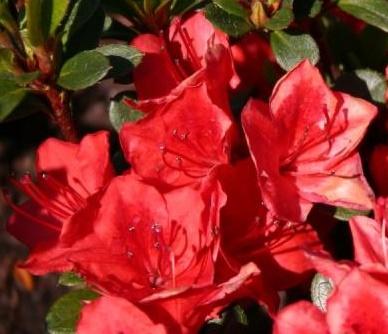 Azalia Fridoline - Rhododendron Fridoline