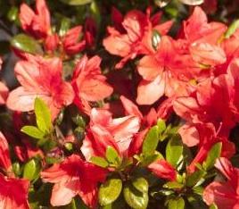 Azalia Juliette - Rhododendron Juliette