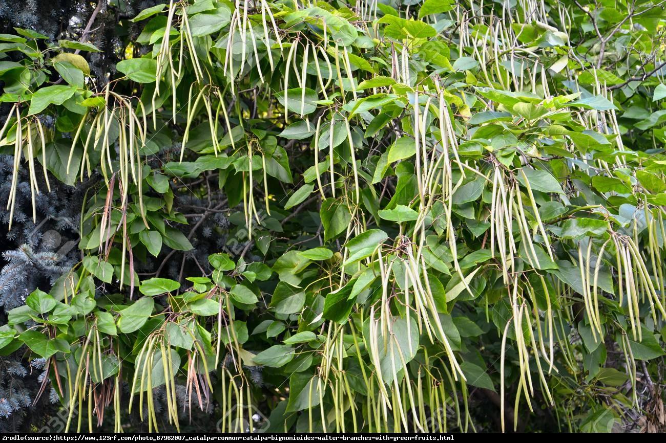 Surmia zwyczajna - Catalpa bignonioides
