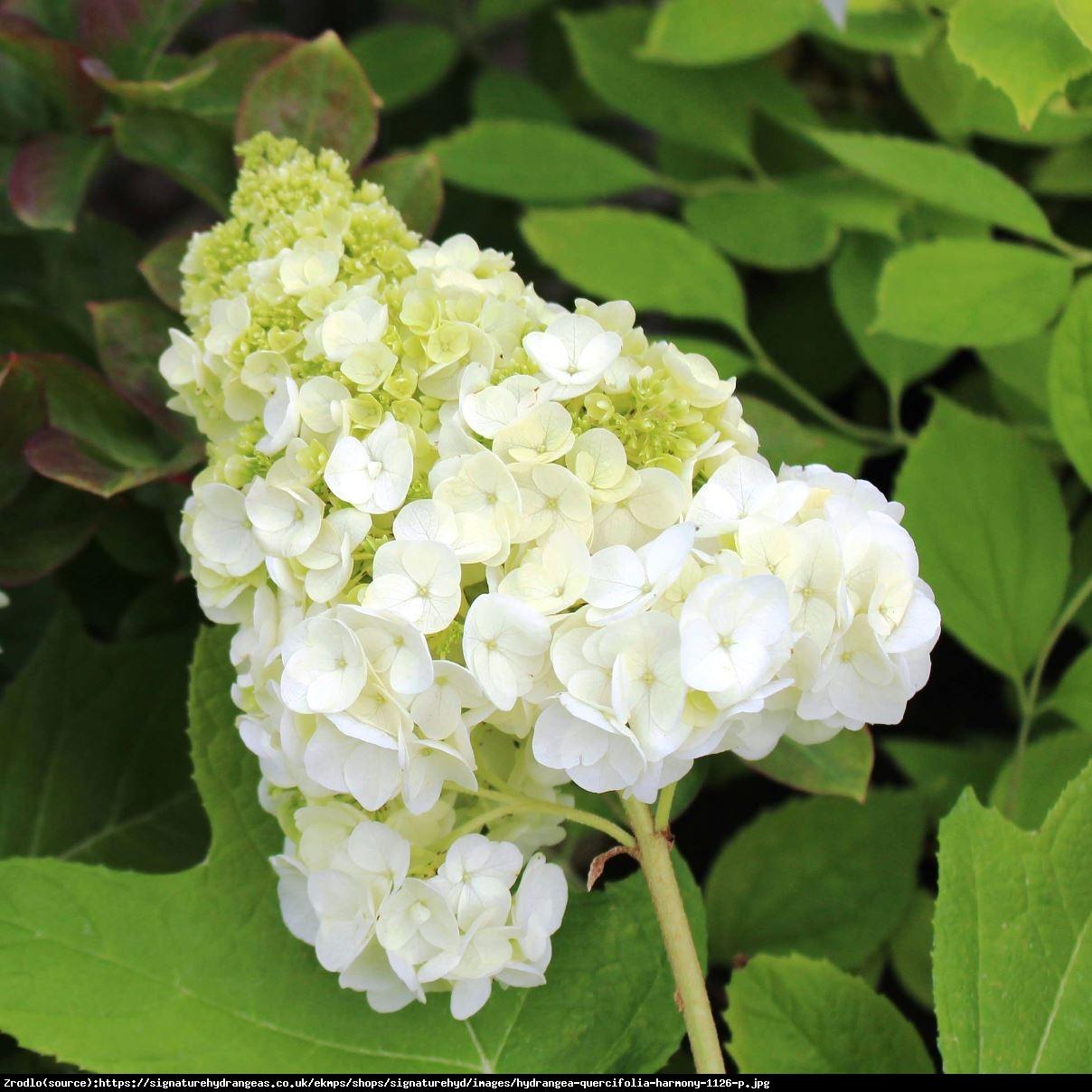 Hortensja dębolistna Harmony - UNIKAT, PEŁNE KWIATY!!! - Hydrangea quercifolia Harmony