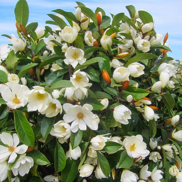 Magnolia Fairy Cream - UNIKAT, ZIMOZIELONA - Magnolia Fairy Cream