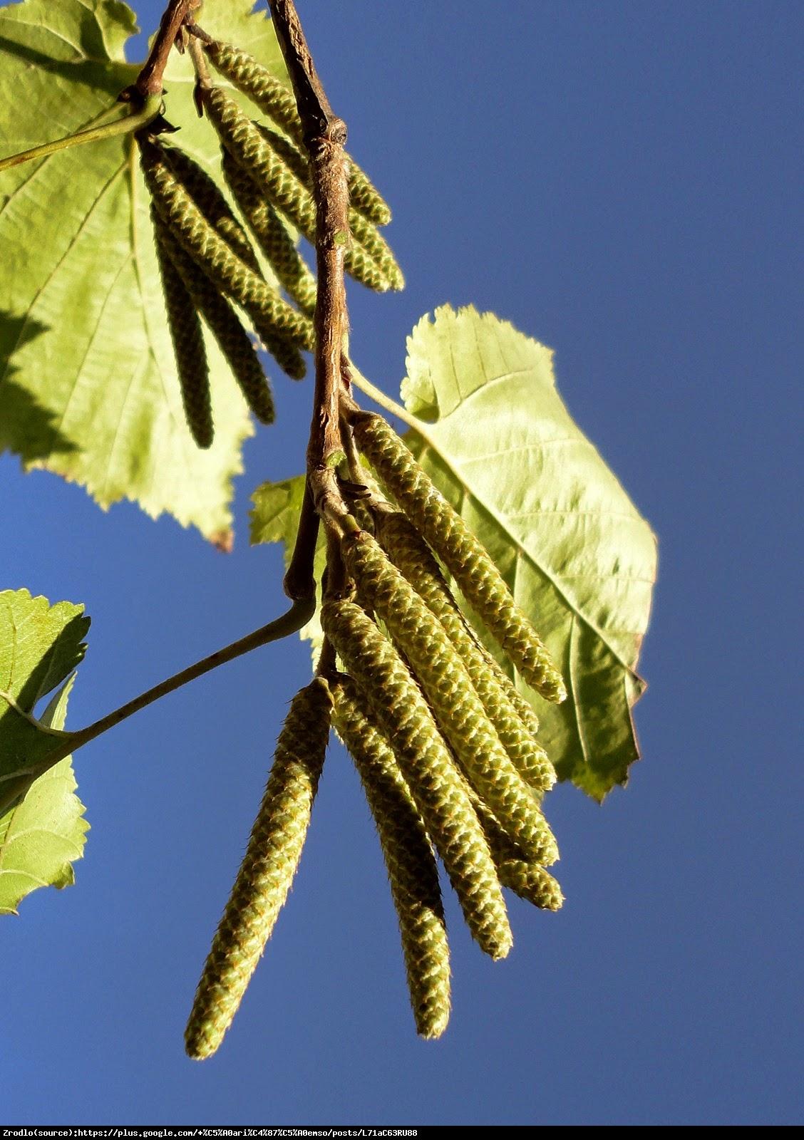 Leszczyna turecka - Corylus colurna